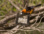 2007-0223-HoodedOriole01-CWR