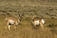 2007-0921-YellowstoneProngHorn-CWR