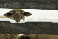 2009-1231-SheepHeresLookingAtYou-13X19-CWR